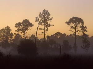 Pine Trees in Morning Fog, Big Cypress National Preserve, Florida by Rolf Nussbaumer