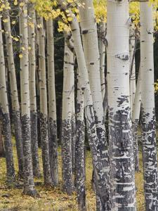 Quaking Aspen in Fall, Rocky Mountain National Park, Colorado, USA by Rolf Nussbaumer