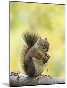 Red Squirrel, Jenny Lake, Grand Teton National Park, Wyoming, USA by Rolf Nussbaumer