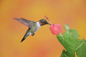 Ruby-Throated Hummingbird (Archilochus Colubris) by Rolf Nussbaumer