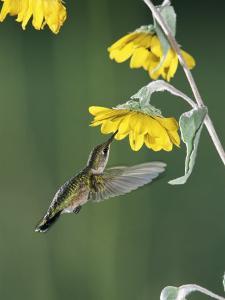 Ruby Throated Hummingbird, Female Feeds at Sunflower, Texas, USA by Rolf Nussbaumer