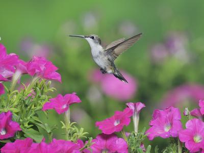 Ruby-throated Hummingbird female in flight feeding, Hill Country, Texas, USA