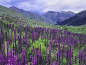 Wildflowers in Alpine Meadow, Ouray, San Juan Mountains, Rocky Mountains, Colorado, USA by Rolf Nussbaumer