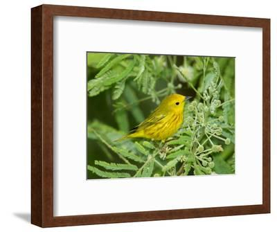 Yellow Warbler, Male, South Padre Island, Texas, USA