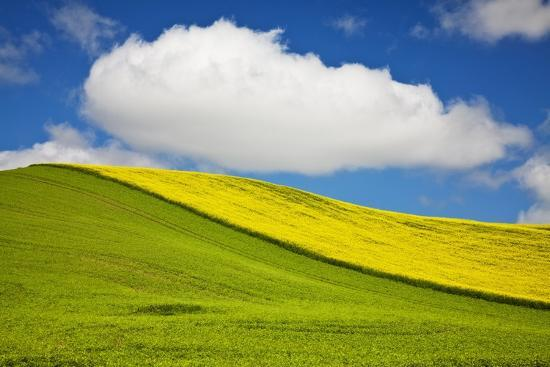 Rolling Hills of Canola and Pea Fields with Fresh Spring Color--Photographic Print