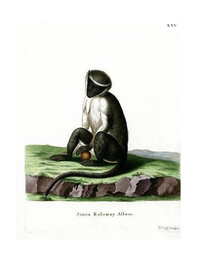 Roloway Guenon--Giclee Print