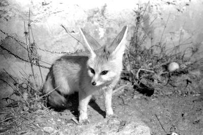 https://imgc.artprintimages.com/img/print/rommella-the-desert-fox-february-1972_u-l-pwi9sv0.jpg?p=0
