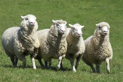 Romney Flock of Sheep, New Zealand-David Noyes-Photographic Print