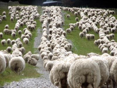 Romney Sheep Mob Trailing to Yards.-Cathie Bell-Photographic Print