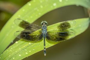 Amazon Dragon Fly by Romona Murdock