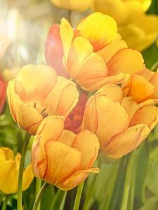 Sunshine Tulips by Romona Murdock
