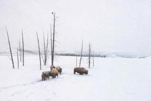 Winter Buffalo by Romona Murdock