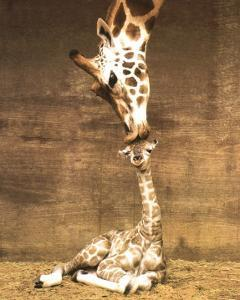 Giraffe, First Kiss by Ron D'Raine