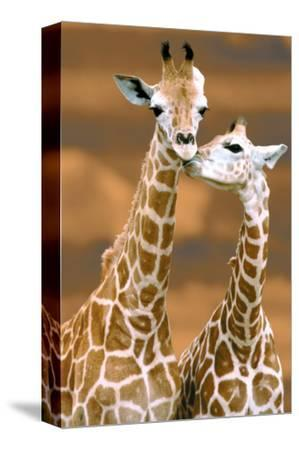 Giraffe First Love by Ron D'Raine