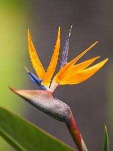 Bird-of-Paradise Flower on Maui by Ron Dahlquist