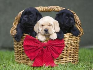 Black and yellow labrador retriever puppies in basket with red bow by Ron Dahlquist