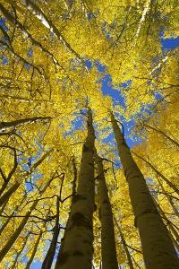 Yellow Aspen Trees in Steamboat Springs, Colorado by Ron Dahlquist