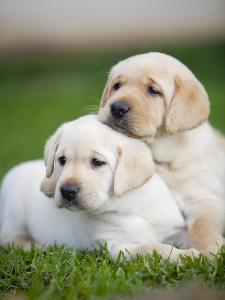Yellow labrador retriever puppies by Ron Dahlquist