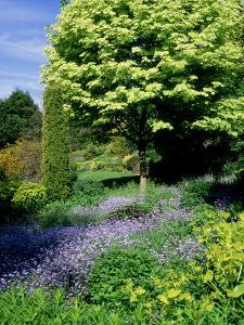 """Acer Platanoides """"Drummondii"""" (Norway Maple) Underplanted with Blue Mys0sotis (Forget Me Nots) by Ron Evans"""