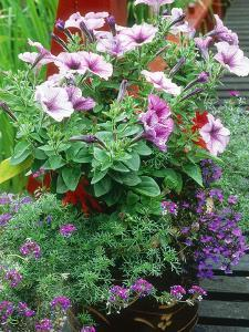 Annuals in Container, Petunia Lobelia, Verbena by Ron Evans