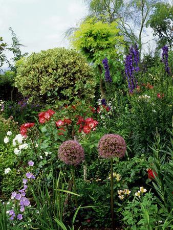 Border with Rosa (Roses), Allium (Ornamental Onion) Shrubs, Delphinium, and Ilex (Standard Holly)