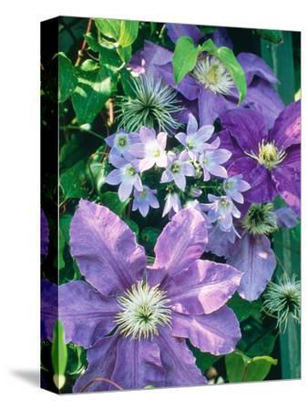 "Campanula ""Lactoflora"" Growing Amongst Clematis (Purple Flowered Climber)"
