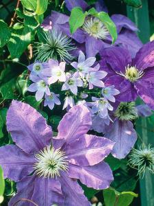 """Campanula """"Lactoflora"""" Growing Amongst Clematis (Purple Flowered Climber) by Ron Evans"""