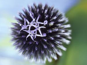 Echinops Ritro Veitchs Blue (Globe Thistle) by Ron Evans
