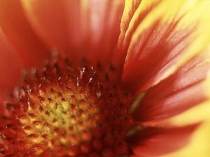 Gaillardia Grandiflora Dazzler, Close-up of Red Flower by Ron Evans
