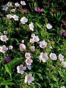 """Geranium """"Maculatum"""" (Cranesbill), Small Pink Flowers on Green Leaves by Ron Evans"""