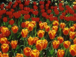 "Group of Tulipa ""Oxford's Elite"" (Darwin Hybrid) by Ron Evans"