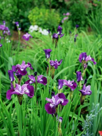Iris Sibirica (Siberian Flag), Beardless Siberian Iris, Flowers with Purple Petals and Dark Veining
