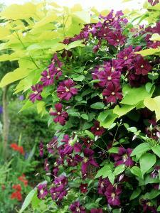 Italian Clematis with Golden Leaved Catalpa by Ron Evans