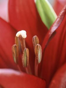 Lilium Stone (Lily), Close-up of Red Flower with Stamens by Ron Evans