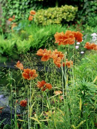 "Orange Papaver (Poppy) Flowers in Combination with Carex Elata ""Aurea"" ""Bowles Golden Sedge"""