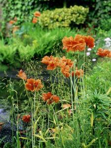 """Orange Papaver (Poppy) Flowers in Combination with Carex Elata """"Aurea"""" """"Bowles Golden Sedge"""" by Ron Evans"""