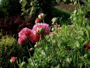 Papaver Somniferum (Opium Poppy) View of Pink Flowers and Opening Green Buds by Ron Evans