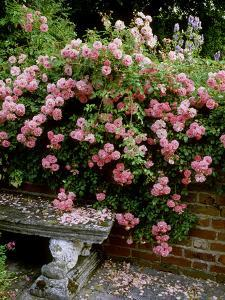 """""""Pheasant"""" Rose Cascades Over Wall onto Stone Bench by Ron Evans"""