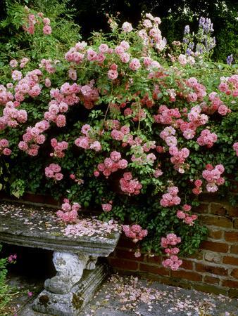 """Pheasant"" Rose Cascades Over Wall onto Stone Bench"