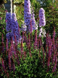 Pink and Purple Summer Border, Pink Delphinium and Purple Pink Flowers of Salvia X Sylvestris by Ron Evans