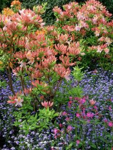 Salmon Pink Rhododendron (Azalea), Blue Myosotis (Forget Me Not) and Silene (Red Campion) by Ron Evans