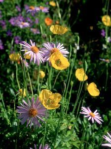 Yellow Meconopis Cambirica (Welsh Poppy) and Mauve Bellis Perennis (Daisy) by Ron Evans
