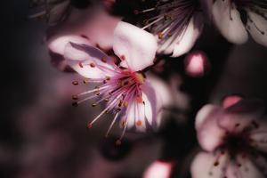 Close-Up, Detail Of Plum Flower Blossoms (Prunus Mume) by Ron Koeberer