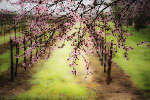 Plum Tree Blossoms And Vineyard In Sonoma County by Ron Koeberer