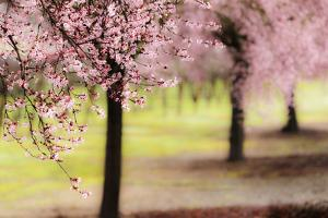 Plum Tree Blossoms In Sonoma County by Ron Koeberer