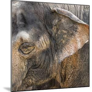A Close Up of the Eye and Ear of an Asian Elephant, Cincinnati Zoo by Rona Schwarz