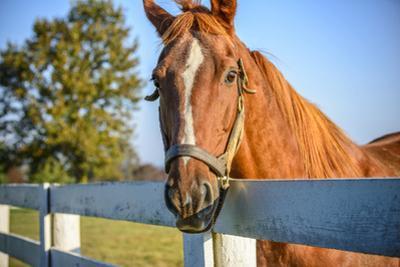 A Thoroughbred Horse, Lexington, Kentucky by Rona Schwarz