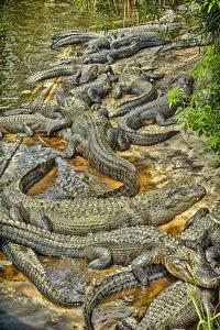 Aligators, Alligator Farm Zoological Park, St. Augustine, Florida by Rona Schwarz