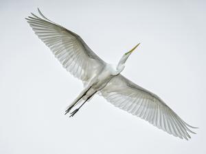Alligator Zoo, St. Augustine, Florida. Great Egret in Flight by Rona Schwarz