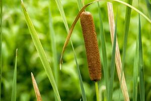 American Cattail. the Celery Bog, West Lafayette, Indiana by Rona Schwarz